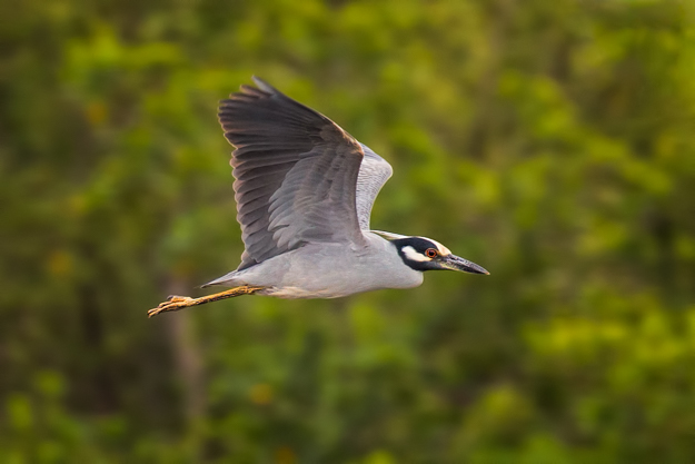 White-crowned Night Heron In Flight