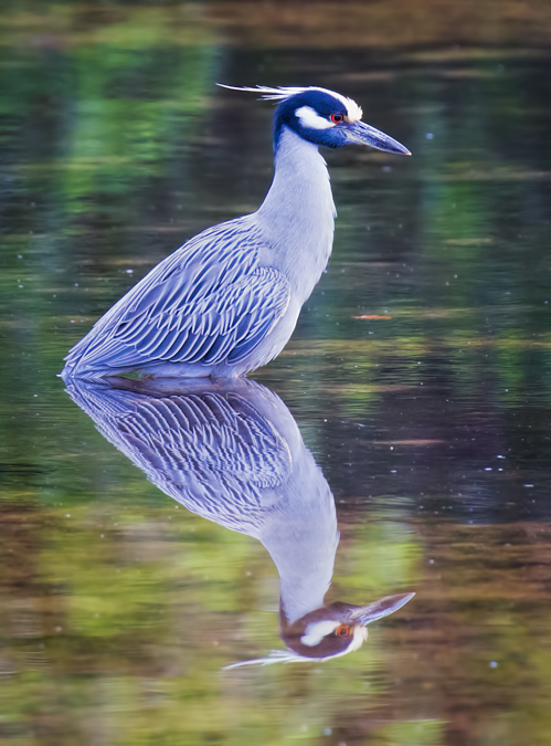 White-crowned Night Heron Reflection