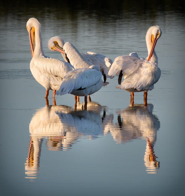 White Pelican Reflection - Ding Darling Wildlife Refuge