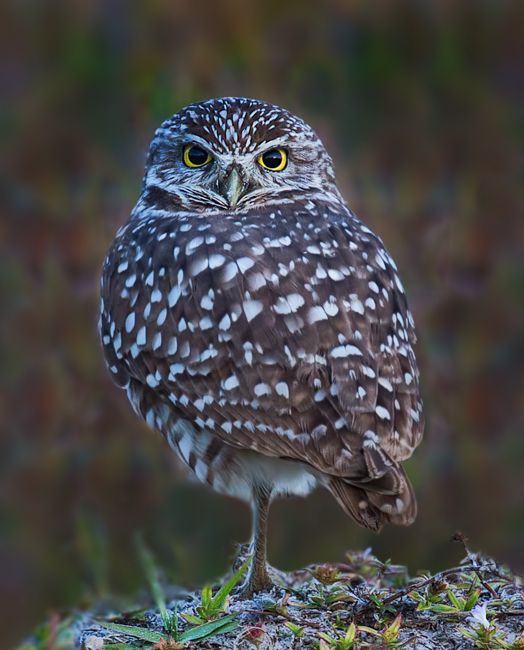 Cape Coral Burrowing Owl