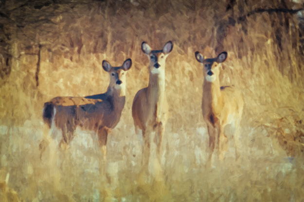 3 White-tailed Deer Does Artwork - Akvis OilPaint