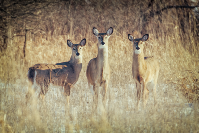 3 White-tailed Deer Does