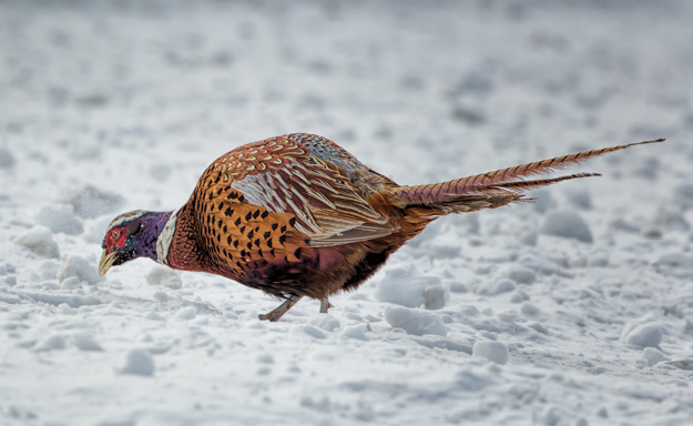 Male Pheasant in the Snow