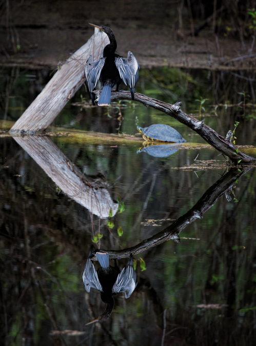 Anhinga and Turtle Reflection