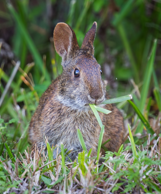 Munching Marsh Rabbit