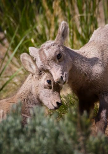 Bighorn Sheep Lambs Butting Heads