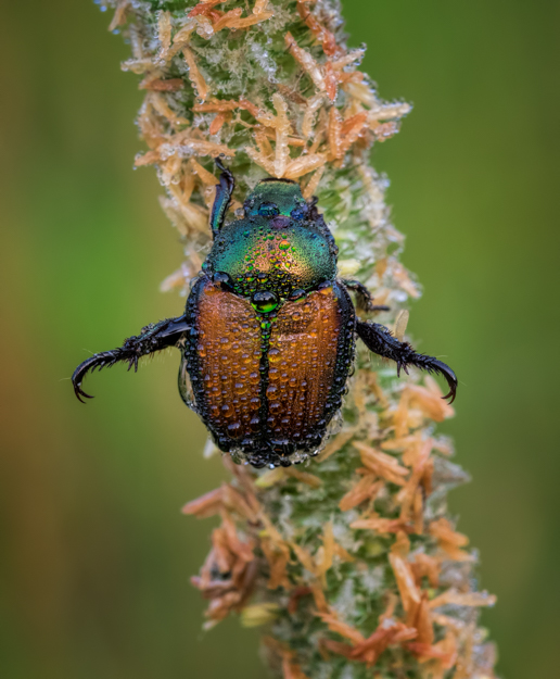 Japanese Beetle in the Morning Dew