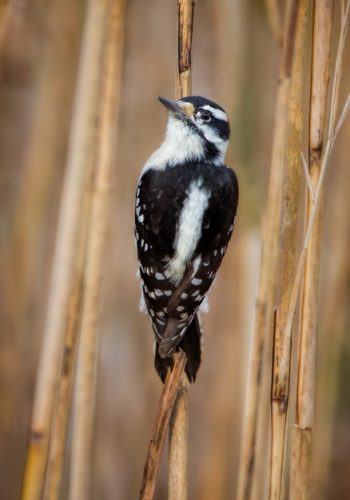 Downy Woodpecker in the Tall Grass