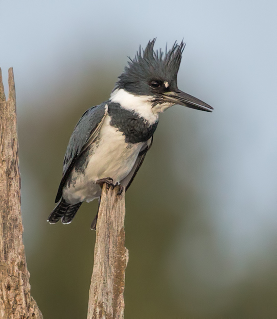 Belted Kingfisher in the Beaver Marsh