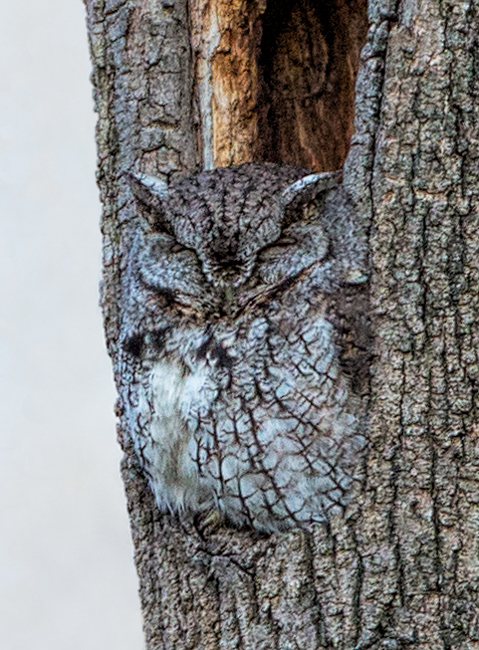 A Well Camouflaged Eastern Screech Owl
