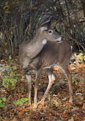 White-tailed Deer on Stony Man Trail