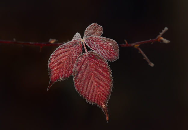Winter Red Leaves