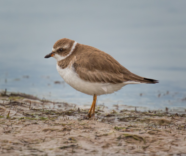 Juvenile Semipalmeted Plover