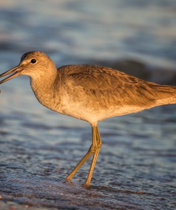 Willet with a Sunset Snack