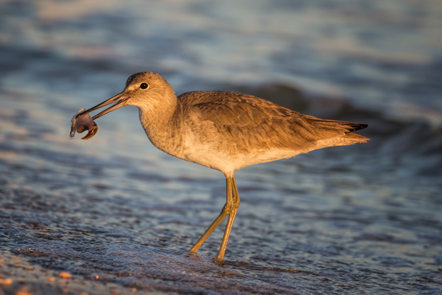 Willet on Sanibel Beach