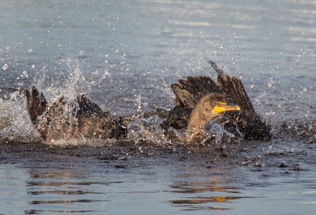 Splashing Cormorant at Ding Darling Wildlife Refuge