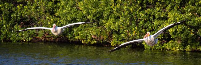 White Pelican Flying Low Banner