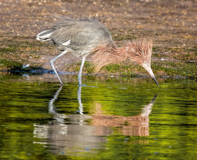 Reddish Egret Fishing Reflection