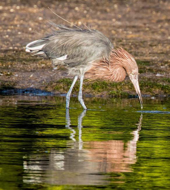 Reddish Egret Catching a Morsel