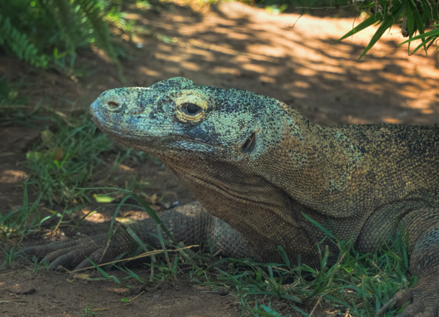 Komodo Dragon at the Honolulu Zoo