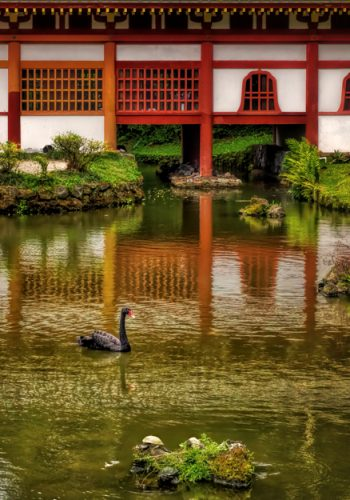 Black Swan at the Byodo-In Temple