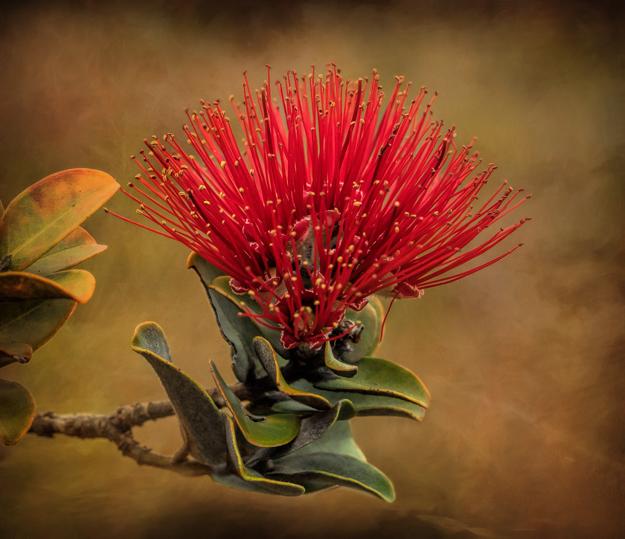 Ohia Lehua Flower, Volcanos National park