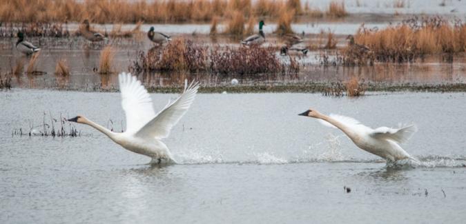 Tundra Swan Takeoff - Original Image