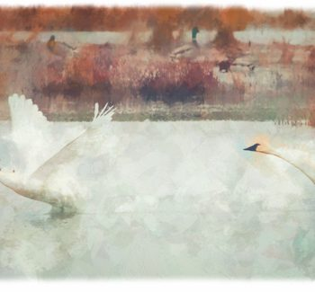 Tundra Swan Takeoff - Overpaint