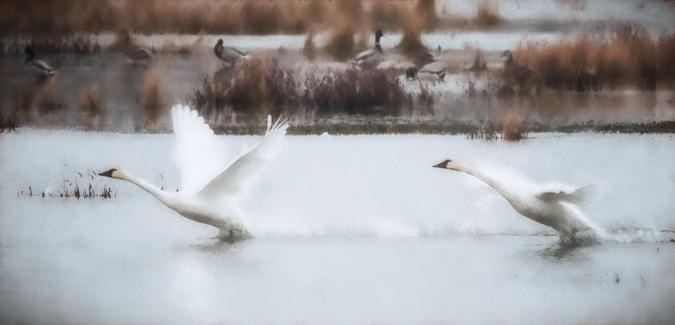 Tundra Swan Takeoff - Warm Haze I Preset