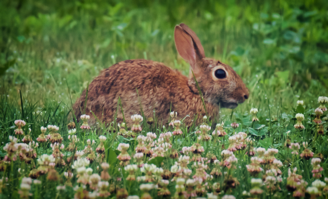Bunny in the Clover