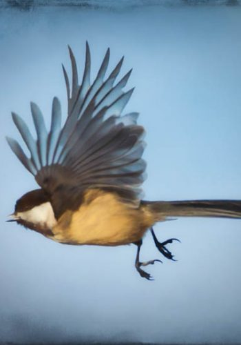 Black-capped Chickadee In Flight