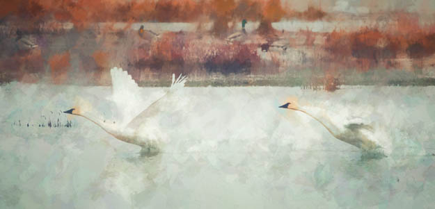 Tundra Swan Takeoff Watercolor Effect