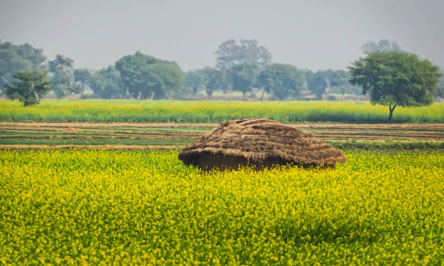 Hut in the Mustard Seed Fields