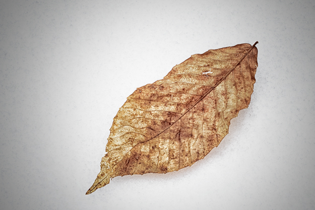 Fallen Leaf in the Snow