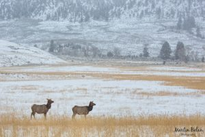 Elk in a Snowy Winter Scene