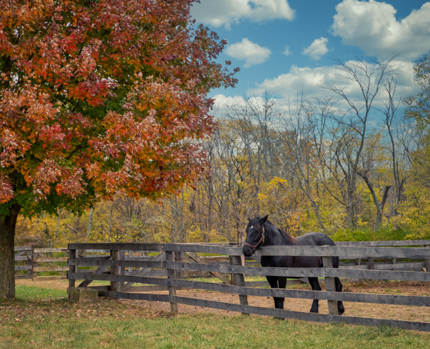 Horse in the Fall Colors at Slate Run Living Historical Farm