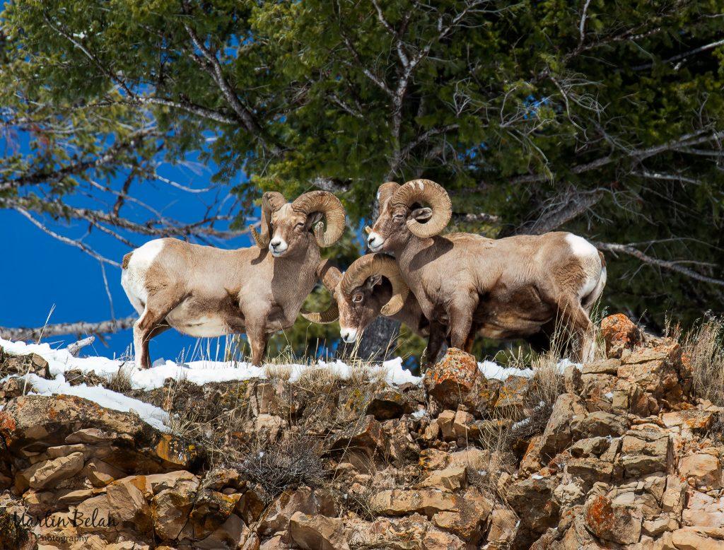Three Rams on a Rock