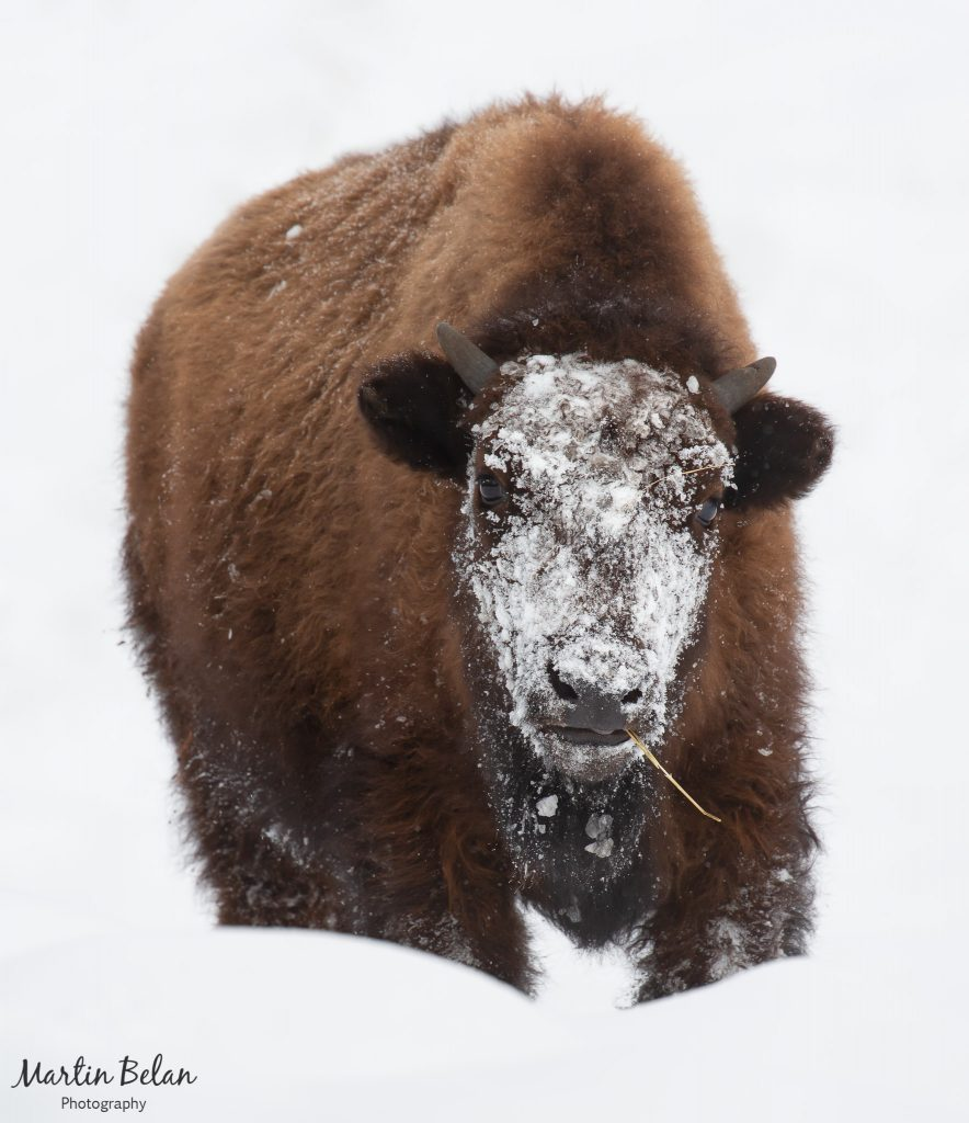 Snowy Young Bison