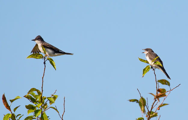 Juvenile Eastern Kingbird Calling for Food