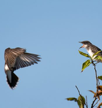 Eastern Kingbird feeding its young