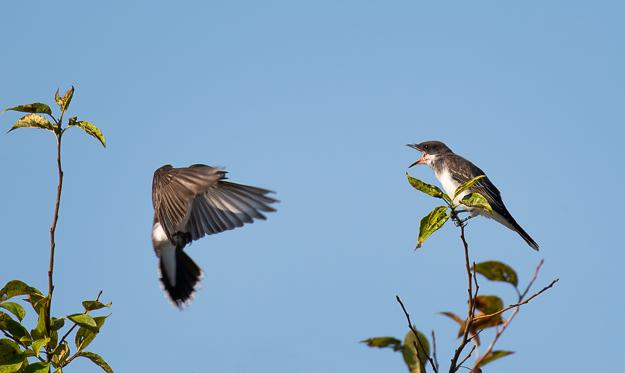 Eastern Kingbird feeding its young