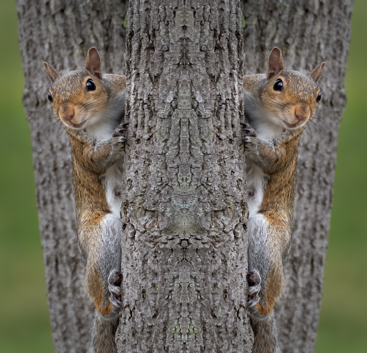 Gray Squirrel - Mirror Image