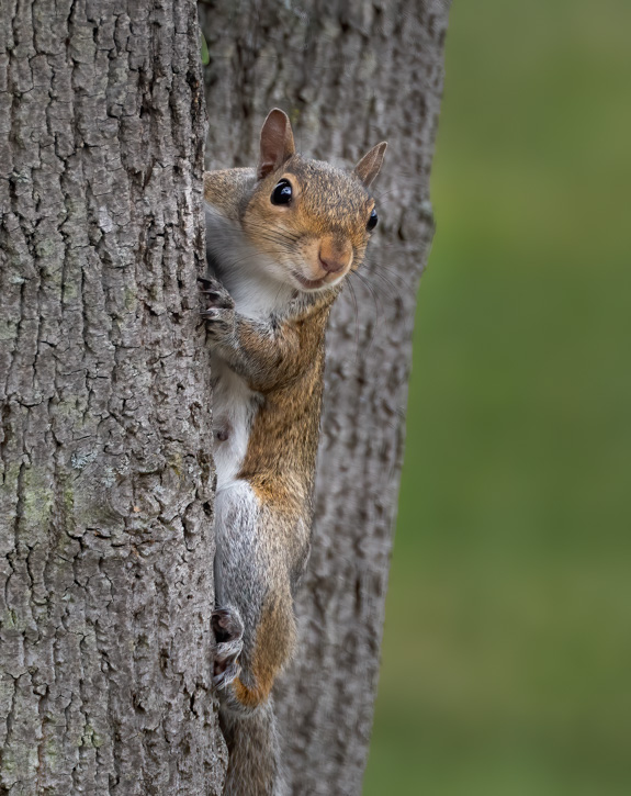 Gray Squirrel - Before