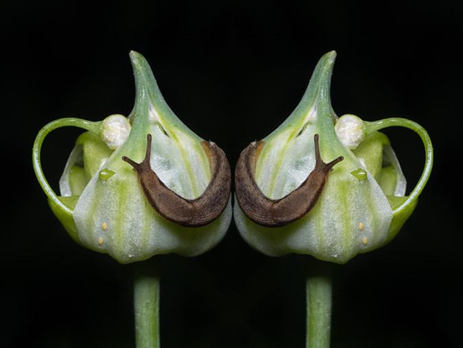 Slug on a Bloom - Mirror Image