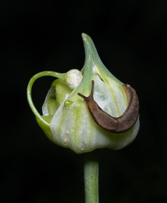 Slug on a Bloom - Before