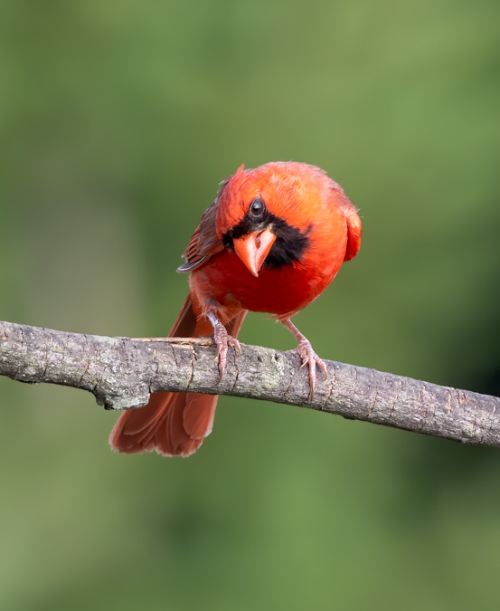 Northern Cardinal - Curious Look