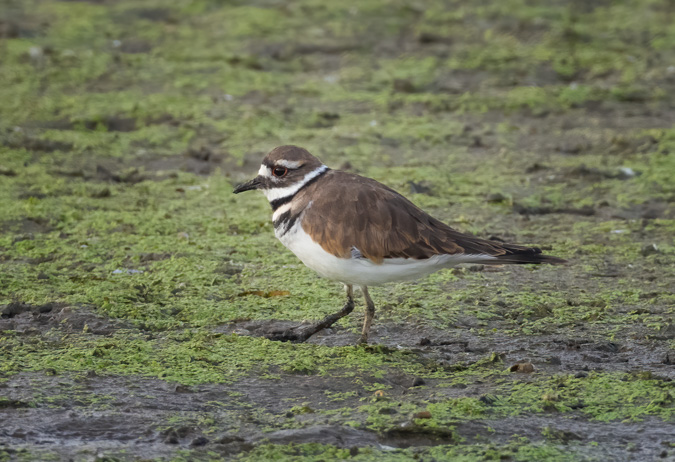 Killdeer in the Marsh - Just Before Sunrise