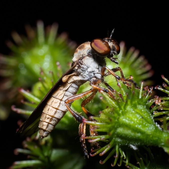 Gnat Ogre Fly, ISO 200, 60mm f/14, 1/200 sec