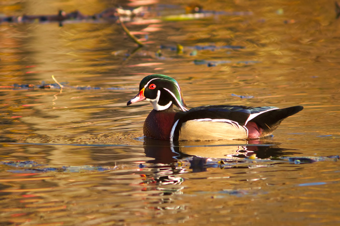 Wood Duck in a Fall Color Reflection