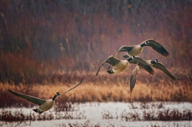 Canada Geese Takeoff in the Autumn Colors